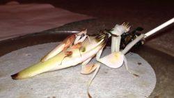 Orchid mantis (Hymenopus coronatus) mating