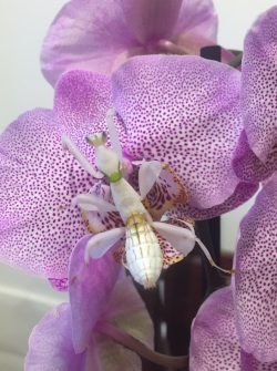 Buy orchid mantis