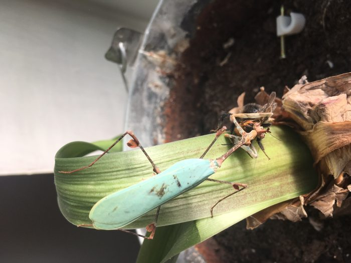 Sibylla pretiosa (Cryptic mantis) for sale