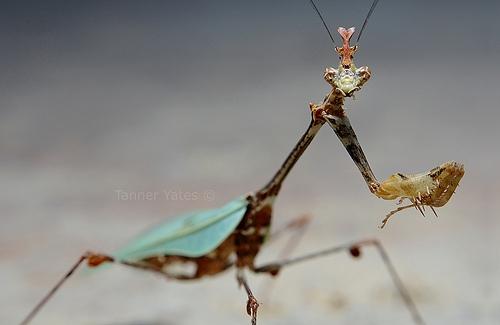 Sibylla Pretiosa - Cryptic Mantis - Head
