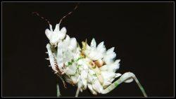 Pseudocreobotra Wahlbergii Spiny- Flower Mantis Nymph