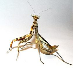 Parasphendale Affinis Budwing Mantis