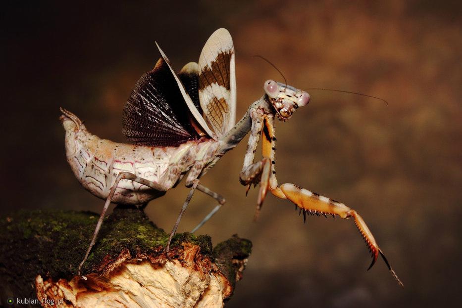 Parasphendale Affinis Budwing Mantis Female Pose