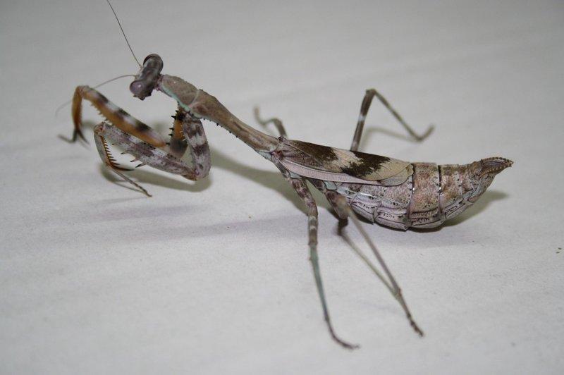 Parasphendale Affinis Budwing Mantis Female