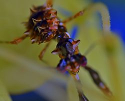 Pseudocreobotra Wahlbergii Spiny Flower Mantis Nymph
