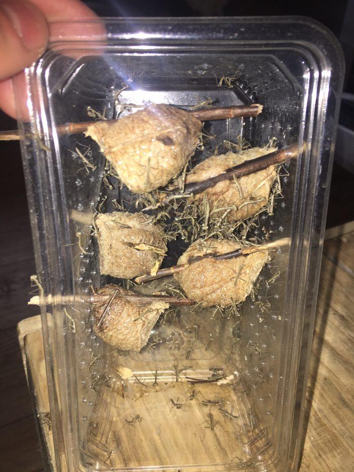 Chinese mantis (Tenodera sinensis) ootheca hatching