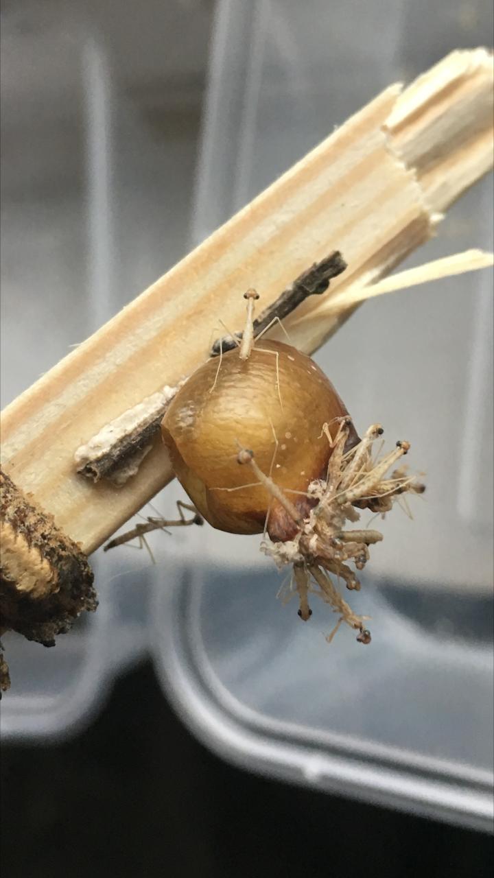 hoplocoryphella praying mantis ootheca for sale