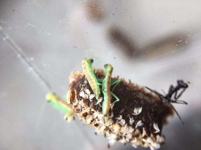 New Zealand mantis (Orthodera novaezealandiae) ootheca