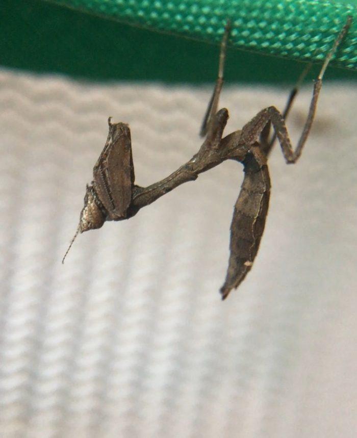 Acanthops species peru praying mantis nymphs