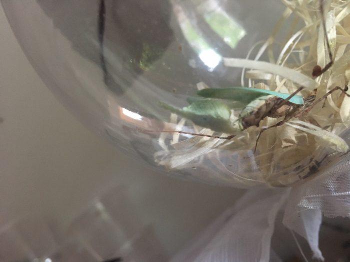 Sibylla pretiosa (cryptic mantis) laying ootheca