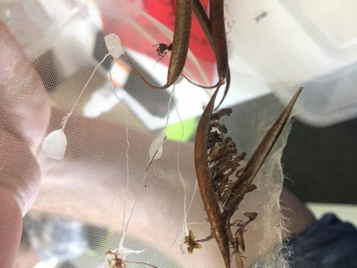 acanthops praying mantis peru ootheca hatching